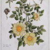 Antique Hand-colored etching