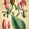 Antique Natural History Print