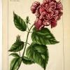 Antique Natural History Print